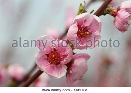 Peach tree (Prunus persica) blossom, Wachau, Lower Austria, Austria - Stock Photo