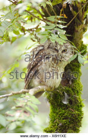 Close-up of a Boreal Owl, Aegolius funereus - Stock Photo