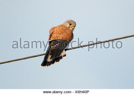 Common Kestrel or Eurasian Kestrel (Falco tinnunculus) perched on a power line, Thuringia, Germany - Stock Photo
