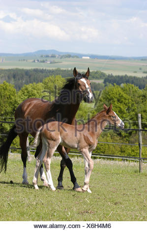 German warmblood Horse, mare with foal - Stock Photo