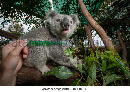 A toothbrush is held up next to a koala, Phascolarctos cinereus, at the Australia Zoo Wildlife Hospital. - Stock Photo