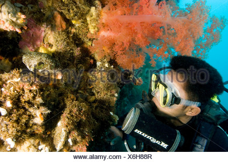A diver looks at a small puffer fish on a coral wall. - Stock Photo