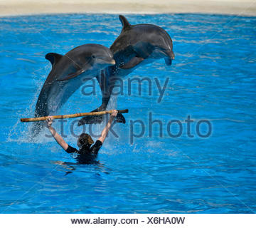 Dolphin show, common or Atlantic bottlenose dolphins (Tursiops truncatus) jumping, Loro Parque, Puerto de la Cruz, Tenerife - Stock Photo