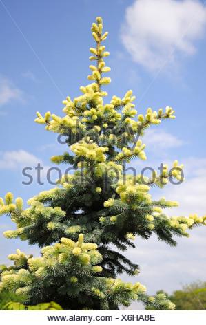 Colorado blue spruce (Picea pungens 'Glauca Albospica', Picea pungens Glauca Albospica), cultivar Glauca Albospica - Stock Photo