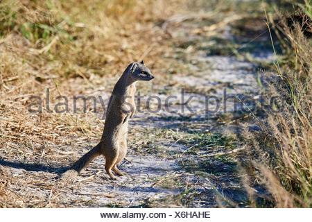 Yellow mongoose (Cynictis penicillata) in alert, trying to escape from a python hidden in the grass, Moremi National Park, Okavango Delta, Botswana, - Stock Photo