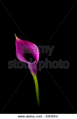 Zantedeschia 'Captain Prado', Lily, Arum lily, Calla lily, Purple, Black. - Stock Photo