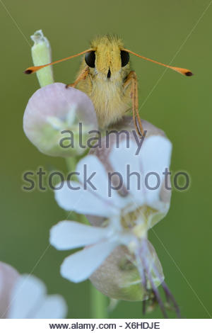 Silver-spotted Skipper, Common Branded Skipper or Holarctic Grass Skipper (Hesperia comma), perched on a Bladder Campion (Silene - Stock Photo