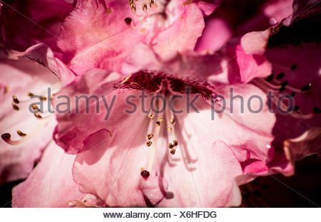 Close-Up Of Azaleas Blooming In Garden - Stock Photo