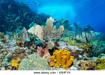 Coral reef in strong waves and currents, Venus sea fan (Gorgonia flabellum), Yello tube sponge, (Aplysina fistularis) Little - Stock Photo