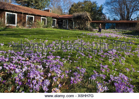 crocus flowers, garden, lawn - Stock Photo