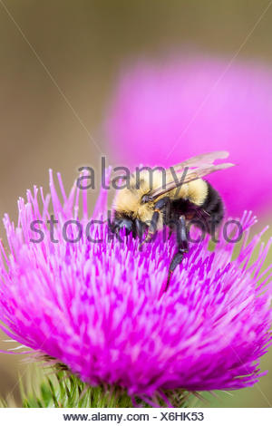 A native Bumble Bee (Bombus) on nonnative Bull Thistle (Cirsium vulgare), Manitoulin Island, Ontario - Stock Photo