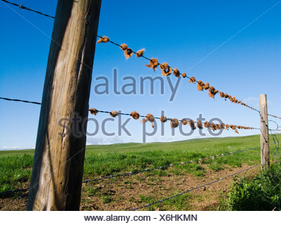 Agriculture - Ranch fence containing tufts of cattle hair on barbed wire strands / Alberta, Canada. - Stock Photo