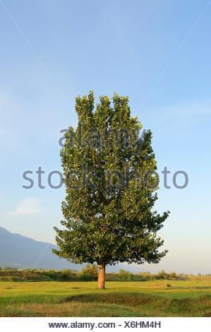 Black Poplar (Populus nigra), Central Macedonia, Greece - Stock Photo