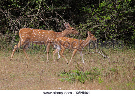 spotted deer, axis deer, chital (Axis axis, Cervus axis), female with fawn, Sri Lanka, Yala National Park - Stock Photo