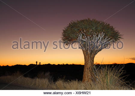 Kokerboom, Quivertree, Quiver Tree (Aloe dichotoma), Quivertree after sunset , South Africa, Augrabies Falls National Park - Stock Photo