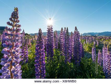 Sun shining through purple Large-leaved lupines (Lupinus polyphyllus), sunstern, Lake Tekapo, Canterbury region, Southland - Stock Photo