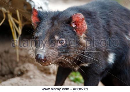 tasmanian devil, Sarcophilus harrisii, animal - Stock Photo