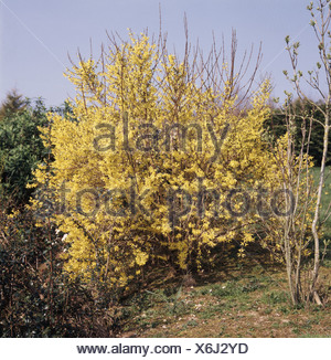 Yellow early flowering Forsythia shrub in garden setting - Stock Photo