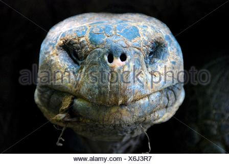 Portrait of a Giant Tortoise, Isla Isabela, galapagos, Ecuador - Stock Photo