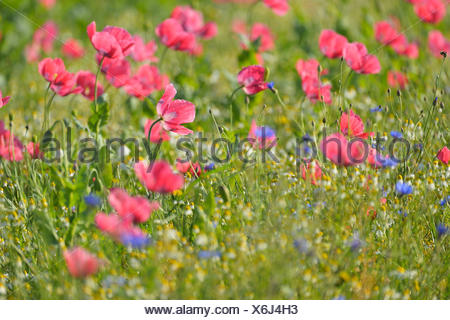 Opium Poppy Field, Papaver somniferum, and Chamomile, Matricaria chamomilla, Summer, Germerode, Hoher Meissner, Werra Meissner District, Hesse, Germany - Stock Photo