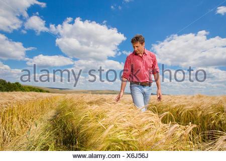 Farmer examining sunny rural barley crop field in summer - Stock Photo