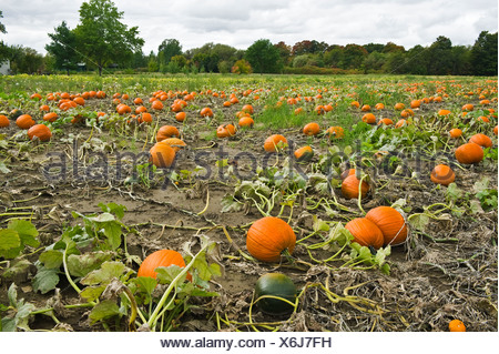 Agriculture - Field of mature pumpkins ready for harvest / near Collingwood, Ontario, Canada. - Stock Photo