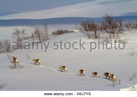 reindeer, caribou (Rangifer tarandus), herd walking one behind another in snowy landscape, Norway, Nordland, Saltfjell - Stock Photo