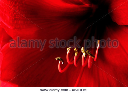 Clos-up of a red amaryllis - Stock Photo