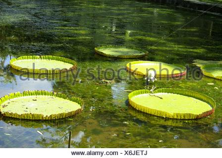 Lotus Plants Floating On Water In Pond - Stock Photo