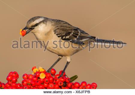 Chalk-browed mockingbird  (Mimus saturninus) feeding on berries, Calden Forest , La Pampa, Argentina - Stock Photo