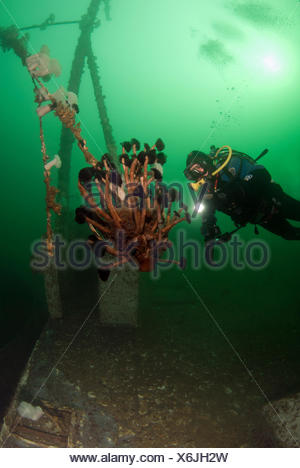scuba diver looks at northern feather duster tube worms, eudistylia vancouveri,  Quadra Island, British Columbia, Canada - Stock Photo