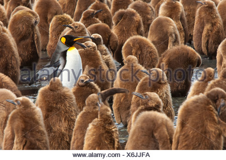 Large group of juvenile king penguins, Oakum boys, and a lone adult. - Stock Photo