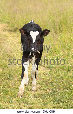 Cute baby cow in a meadow - Stock Photo