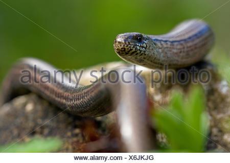 blind worm - Stock Photo