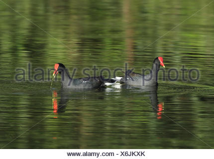 Common Gallinule (Gallinula galeata galeata) adult pair, feeding on lake, Atlantic Rainforest, Reserva Ecologica de Guapi Assu, - Stock Photo