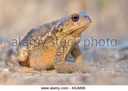 Common Toad (Bufo bufo spinosus), female, occurrence in Southern Europe, Algarve, Portugal - Stock Photo