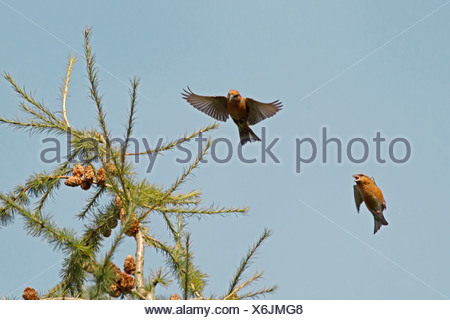 Common Crossbill, Loxia curvirostra - Stock Photo