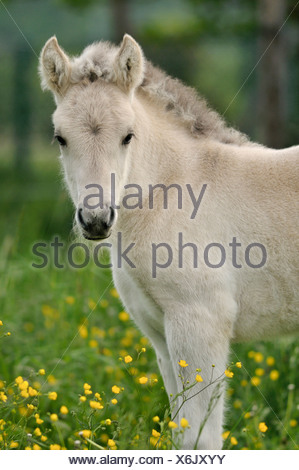 Fjord Horse, Norwegian Pony, foal on colourful spring meadow - Stock Photo