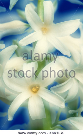 Jacinthe (Hyacinthus orientalis), blossom detail - Stock Photo