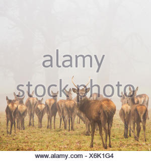 Herd of deer in park, Berkshire, England, UK - Stock Photo