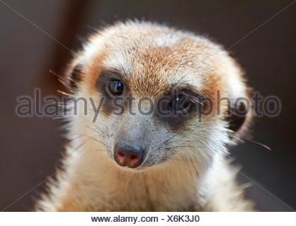 Meerkat Suricate Suricata Suricatta Small Mammal from Kalahari Desert in Botsawana Nambia - Stock Photo