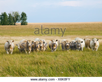 Livestock - Herd of young Charolais bulls on a summer pasture / Alberta, Canada. - Stock Photo