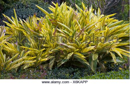 Green and yellow variegated leaves of shell ginger plants in Florida, USA - Stock Photo