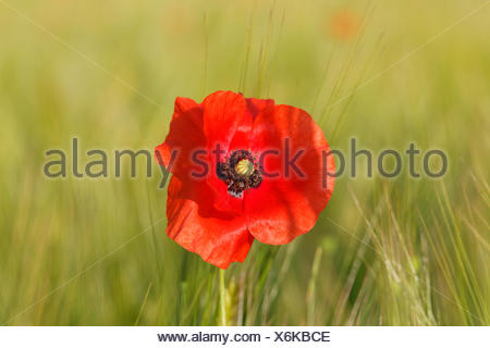 Poppy or Corn Poppy (Papaver rhoeas), in a cornfield, Upper Bavaria, Bavaria, Germany - Stock Photo
