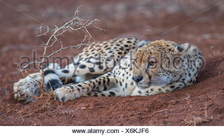 Resting adult female cheetah (Acinonyx jubatus), Zimanga Private Game Reserve, KwaZulu-Natal, South Africa - Stock Photo