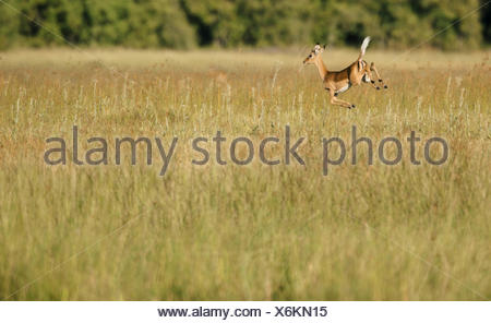An impala, Aepyceros melampus leaping in high grass. - Stock Photo