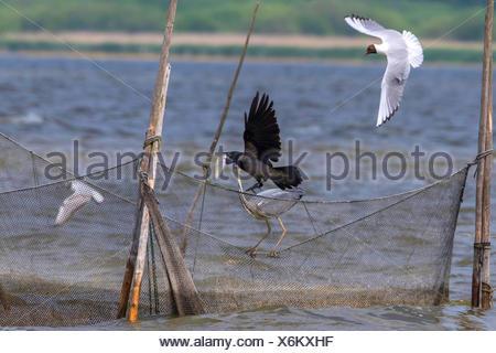 Hooded crow (Corvus corone cornix, Corvus cornix), hooded crow and grwey heron on a fishing net, Germany, Mecklenburg-Western Pomerania, Malchiner See - Stock Photo
