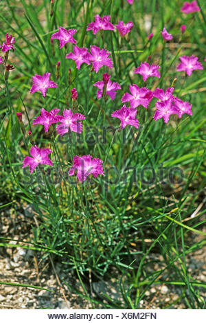 Cheddar pink (Dianthus gratianopolitanus), blooming, Germany - Stock Photo