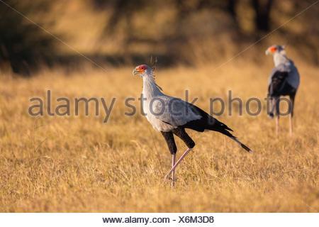 Secretary birds (Sagittarius serpentarius). Okavango Delta, Botswana, Africa. - Stock Photo
