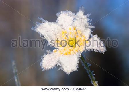 Wood Anemone with whitefrost, Anemone nemorosa - Stock Photo
